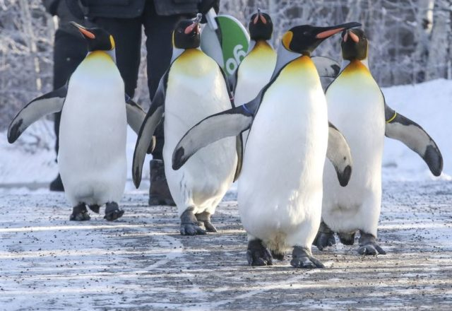 even cold for penguins - rush hour news